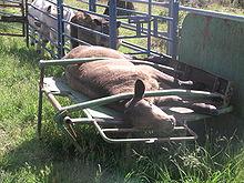 calf cradle